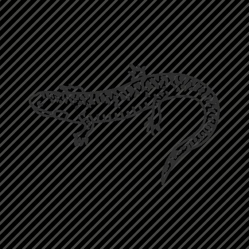 amphibian, flatwoods salamander, salamander icon