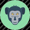 animal, baboon, macaque, monkey, monkey face