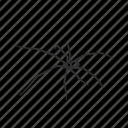 arachnid, daddy long legs, harvestmen, opiliones, small spider, spider icon