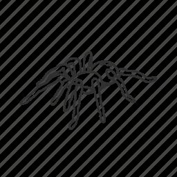 arachnid, big spider, hairy spider, poisonous spider, spider, tarantula, theraphosidae icon