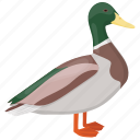 bird, dabbling duck, duck, male mallard, mallard icon
