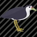australian pied, haematopus, haematopus longirostris, large bird, pied oystercatcher icon