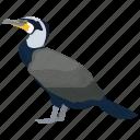 aquatic bird, bird, cormorant, phalacrocoracidae, shags icon