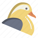 mandarin, duck