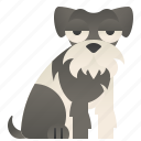 adorable, furry, miniature, schnauzer, small icon