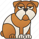bulldog, canine, dog, pedigree, pet