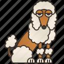 adorable, dog, fluffy, pet, poodle