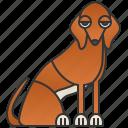 sighthound, tall, azawakh, elegant, african