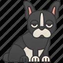 boston, cheerful, pet, small, terrier
