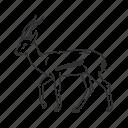 antelope, grazer, mammal, medium land mammal