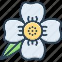 blooming, calophyllaceae, cobra saffron, flower, ironwood, mesua ferrea, natural