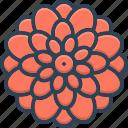 chrysanthemum, colrful, dahlia, decoration, delicate, flower, natural