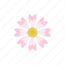 pink cosmos, petals, blossom, flora, flower