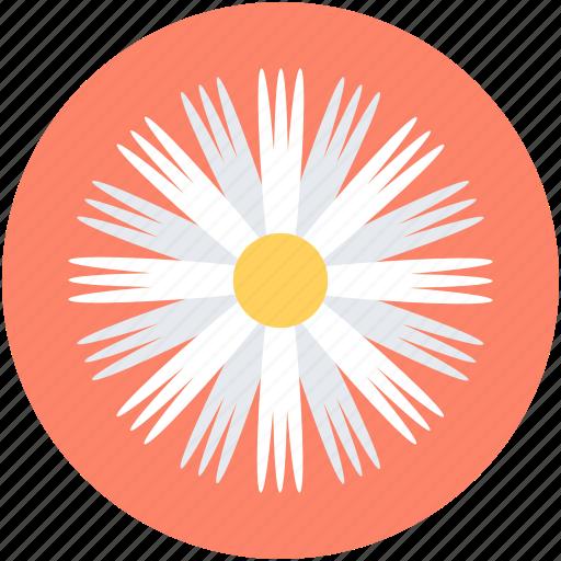 Aster, aster flower, bloom, calendula, flower icon - Download on Iconfinder