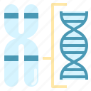 chromosome, dna, gene, genetics, karyotype, structure icon