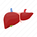 anatomy, human, internal, liver, medicine, organ icon