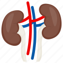 kidney, renal, cortex, urethra, body part, internal structure icon