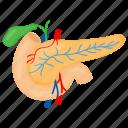 pancreas, internal part, human, organ, galbladder