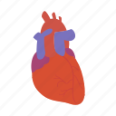 anotomy, aorta, heart, internal, man, organ, valve icon