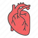 cardio, cardiology, cardiovascular, circulatory, heart, organ, vascular