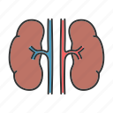 kidney, nephron, organ, renal, urinary, urine, urology