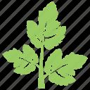 chinese parsley, cilantro, coriander leaf, green leaf, herb icon