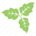 bolleana poplar leaves, foliage, green leaves, leaves, leaves arrangement icon