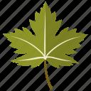 leaf, leaves, maple, sycamore, tree