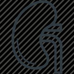 bean shaped organ, body part, human anatomy, kidney, renal icon