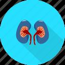 kidney, medical, organs icon