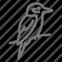 australia, bird, kookaburra