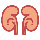 anatomy, health, healthcare, kidney, medical, medicine, renal icon
