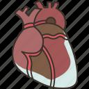 heart, cardio, anatomy, organ, health