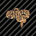 animal, ball python, python, reptile, royal python, snake