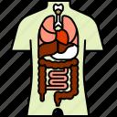 anatomy, health, medical, organs, torso