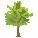 black ash tree, ecology, evergreen tree, fraxinus nigra icon