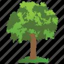 cottonwood, eastern cottonwood tree, hedge tree, hybrid tree, park tree icon