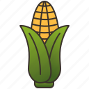 agriculture, cob, corn, food, grain
