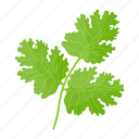 coriander, cilantro, chinese parsley, leafy greens, herb, leaves